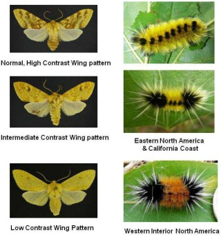 Spotted tussock moth and caterpillar varieties