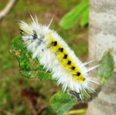 White variant of spotted tussock moth caterpillar